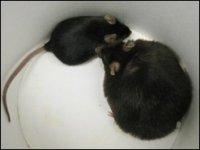 """ГМО мыши позволили выявить новый """"ген ожирения"""""""