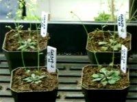 Растения, которые обнаруживают взрывчатку!