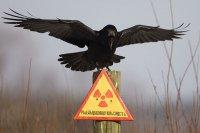 Ученые: у чернобыльских птиц - аномально маленький мозг